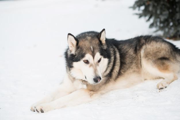 Assis malamute d'alaska couché dans la forêt d'hiver. près de l'épinette.