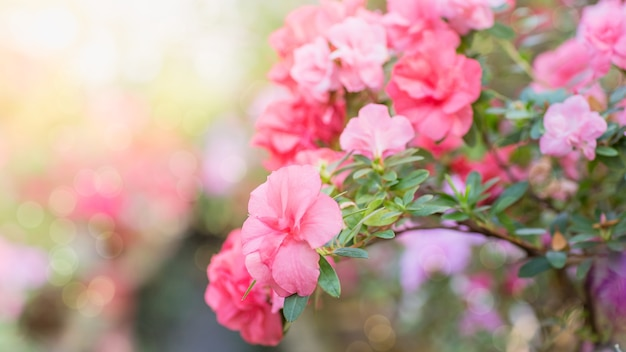 Assortiment de rhododendrons azalées en fleurs dans des pots de fleurs dans une ancienne serre.