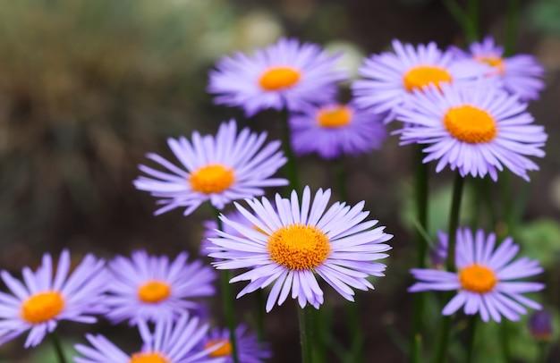Aster alpin aster alpinus belles fleurs violettes avec un centre orange dans le jardin