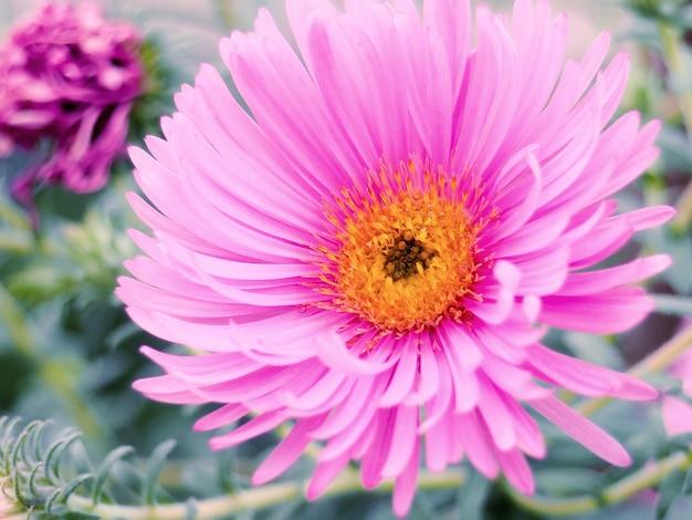 Aster fleurs d'automne dans un jardin