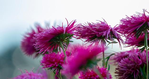 Aster pourpre sur un parterre de fleurs dans le parc