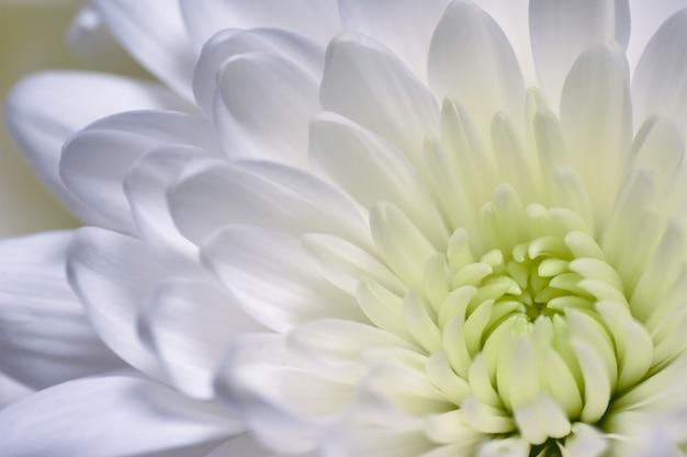 Asters et chrysanthèmes blancs
