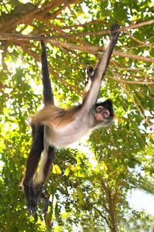Ateles geoffroyi singe araignée amérique centrale