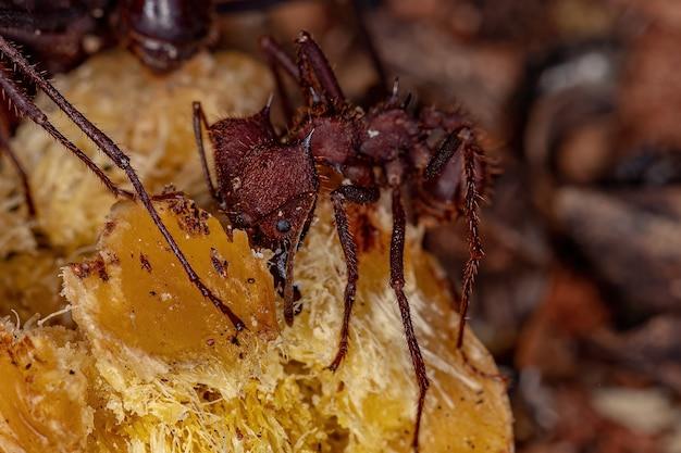 Atta fourmi coupante de l'espèce atta laevigata mangeant un fruit de palmier tombé au sol