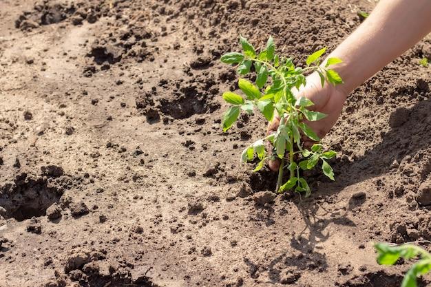 Atterrissage dans le sol des plantes de pousses de tomate printemps été semis journée ensoleillée