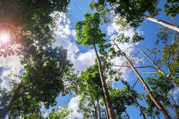 Attraction touristique de l'asie du sud-est, malaisie bornéo, sandakan, sabah, le grand arbre dans la jungle