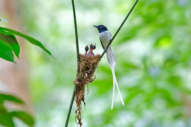 Attrape-mouche du paradis asiatique terpsiphone paradisi morph blanc de beaux oiseaux sur le nid