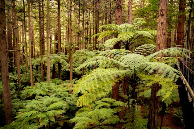 Au fond de la luxuriante forêt de séquoias à pied l'arbre suspendu à pied au-dessus des grandes fougères punga indigènes