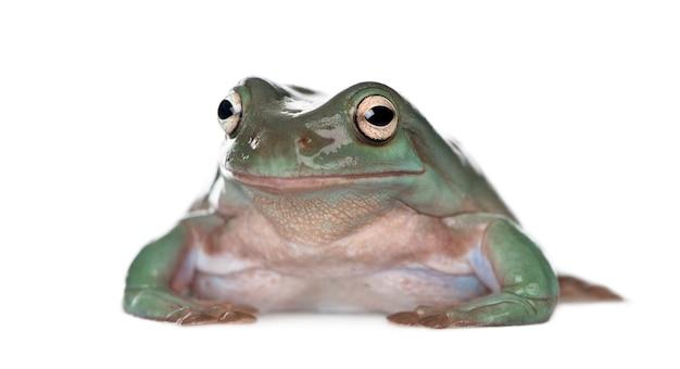 Australian green tree frog, green tree frog, white's tree frog, dumpy tree frog - litoria caerulea