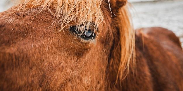 Authentiques chevaux islandais sauvages dans la nature.