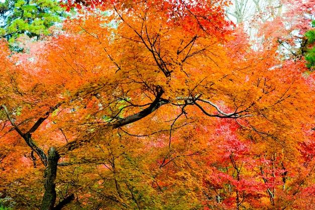 Automne au japon, feuilles d'érable colorées