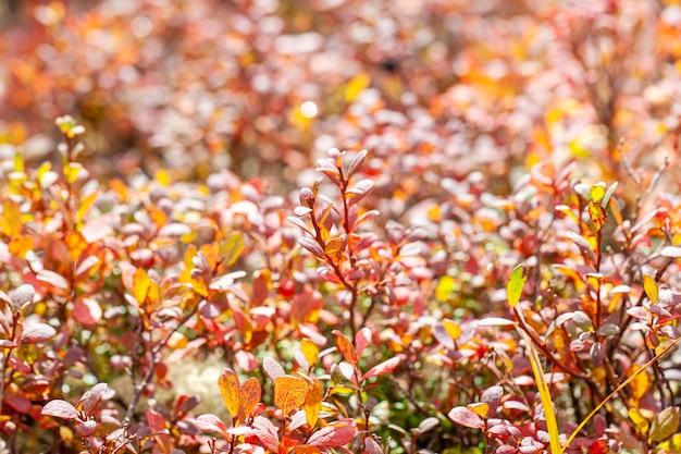 L'automne dans la toundra, feuilles rouges sur fond de mousse