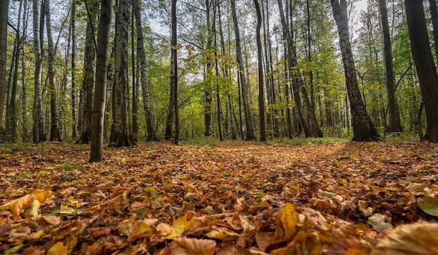 Automne doré dans la forêt, arbres jaunes et rouges en une journée claire.