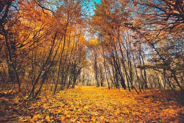 Automne doré dans la forêt