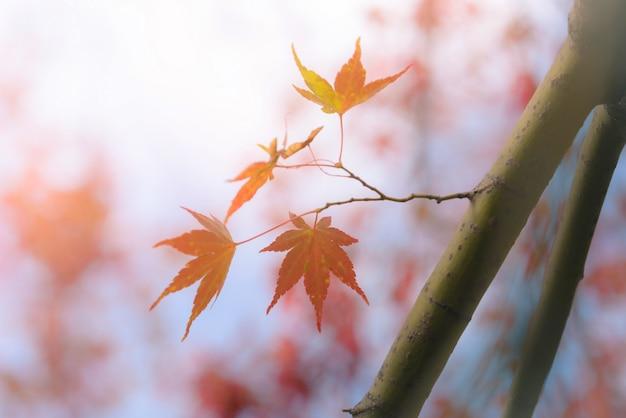 Automne feuille d'érable japonais rouge et jaune dans le jardin avec la lumière du soleil.
