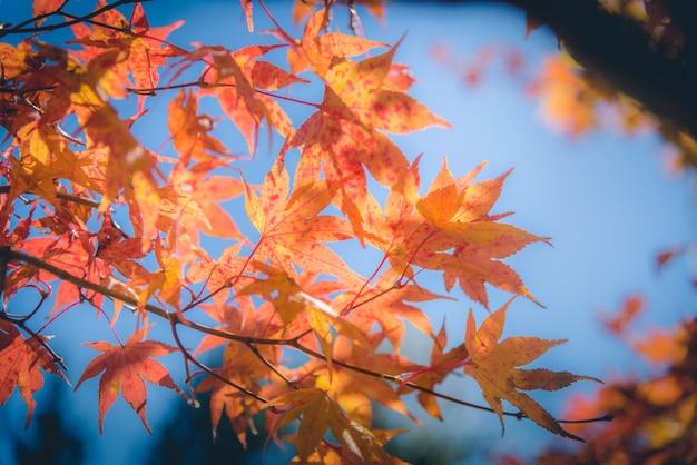 Automne feuille d'érable japonais rouge et vert dans le jardin avec la lumière du soleil.