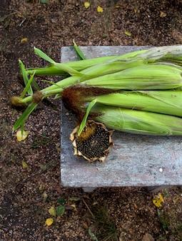 Automne jardin de maïs tournesol