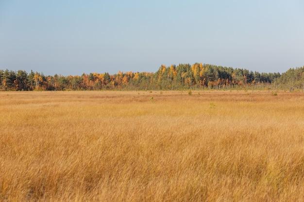 Automne splendide avec champ d'herbe jaune et forêt de pins colorés à l'horizon.