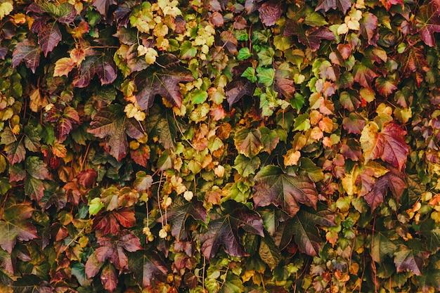 Automne, vigne vierge, feuilles, fond
