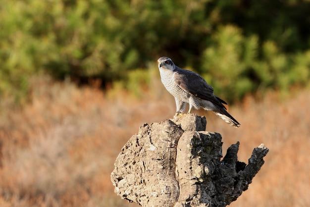 L'autour des palombes mâle adulte sur un tronc de chêne-liège avec les dernières lumières d'une journée d'automne dans une forêt de chênes, de pins et de chênes-lièges