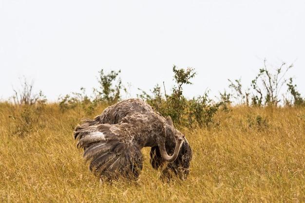 L'autruche africaine femelle aux ailes déployées. kenya, afrique