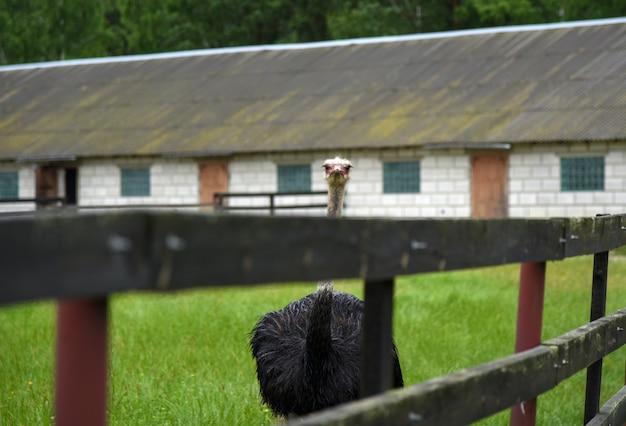 Une autruche court autour d'une ferme d'autruches sous la pluie.
