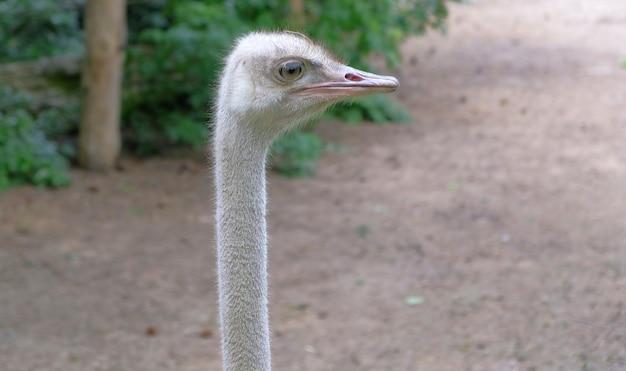 Autruche dans l'avifaune d'un zoo néerlandais aux pays-bas