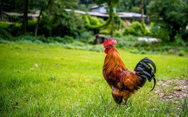 L'aviculture locale de campagne à katmandou népal