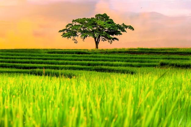 Avis de riz jaune avec ses propres arbres après la pluie à kemumu north bengkulu indonésie