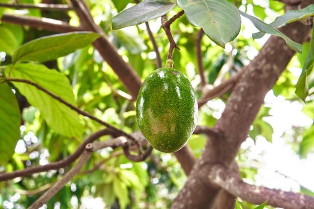 Avocat isolé sur arbre dans le jardin naturel