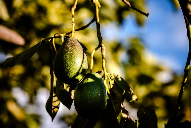 Les avocats sans pépins, persea americana, sur l'arbre, avant d'être mûrs et prêts à être récoltés.