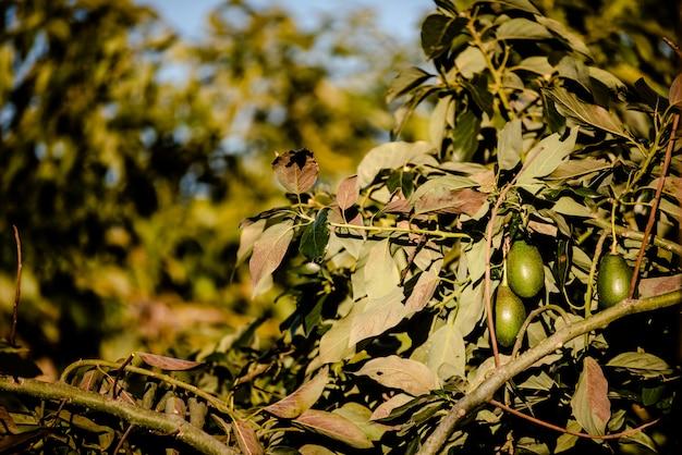 Les avocats sans pépins, persea americana, sur l'arbre, avant d'être mûrs et prêts pour la récolte.