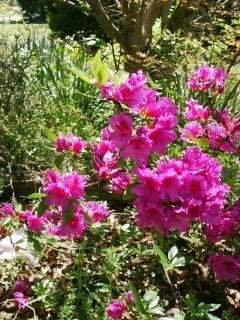Azalée, arbuste