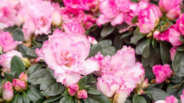 Azalée rose dans un jardin.