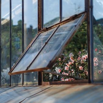 Azalées blanches en fleurs dans une serre dans une fenêtre légèrement ouverte, soft focus sélectif. plantes à fleurs poussant dans le jardin botanique