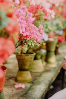 Azalées en fleurs dans une serre