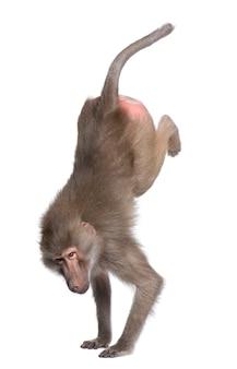 Babouin effectuant un appui renversé - simia hamadryas sur un blanc isolé