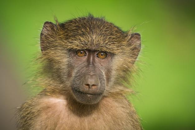 Babouin à l'état sauvage, afrique