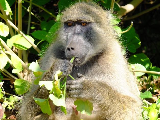 Le babouin à livingstone, zimbabwe