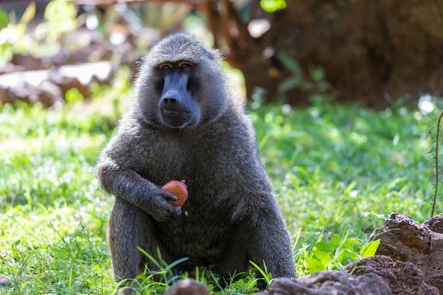 Un babouin a trouvé un fruit et le mange