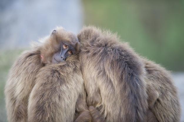 Babouins debout les uns à côté des autres