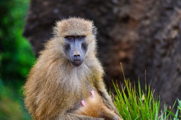 Babouins guinéens en milieu naturel