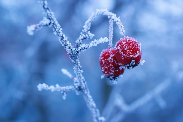 Baies d'aubépine congelées sur une branche avec du givre