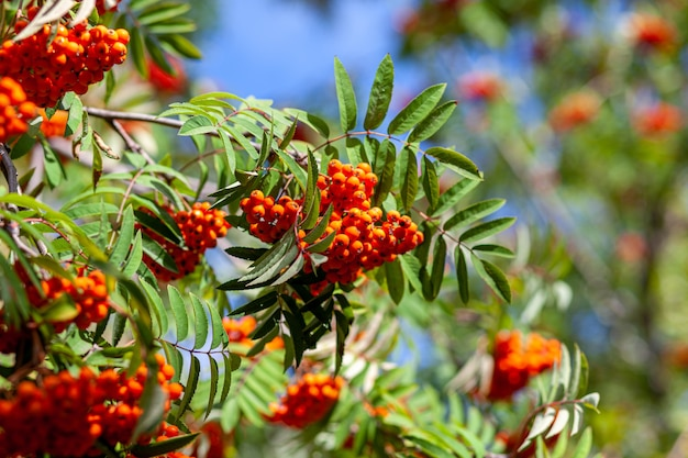Baies de branche de frêne de sorbier des montagnes sur fond vert flou. scène de nature morte de récolte d'automne. photographie de fond de flou artistique. espace de copie.
