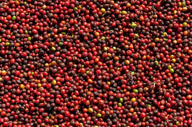 Baies de café arabica frais