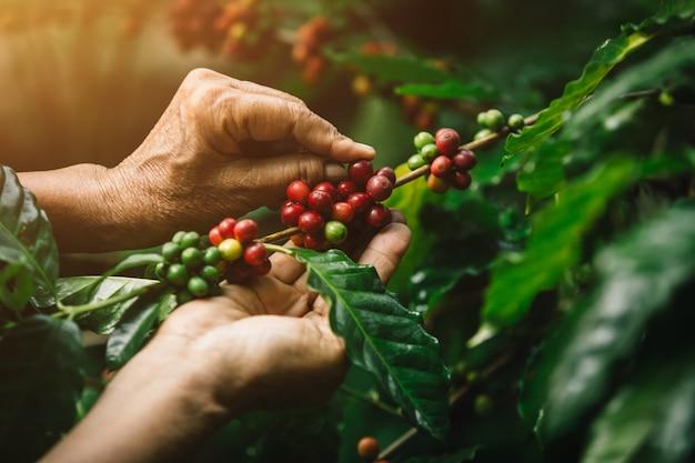 Baies de café arabica gros plan avec les mains de l'agriculteur