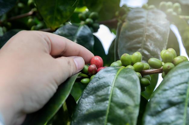 Baies de café sur l'arbre avec la main de l'agriculteur.