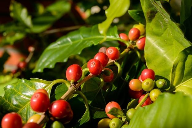 Baies de café rouge sur plante en gros plan avec fond de feuillage vert défocalisé