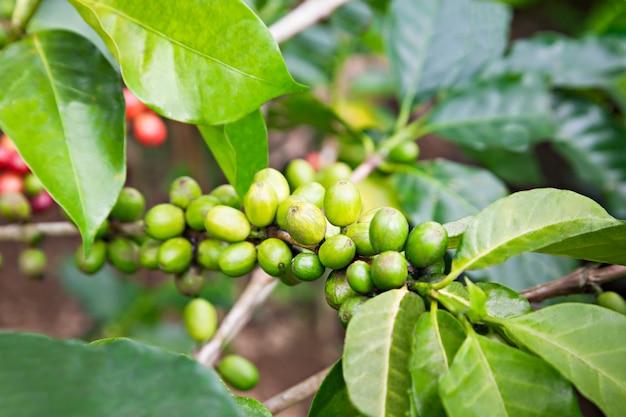 Baies de café vert