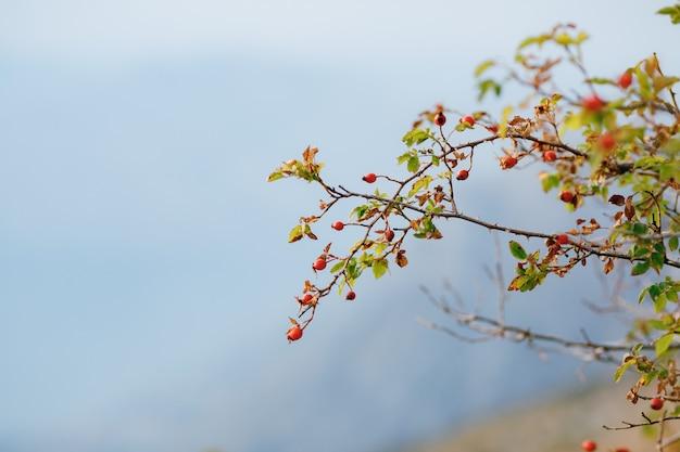 Baies d'églantier rouge sur des branches d'arbuste